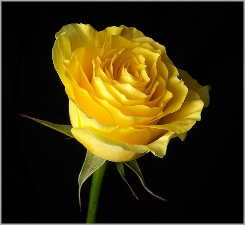 yellow_rose[1]