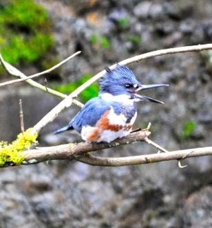 Kingfisher3b