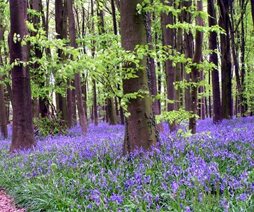 Bluebells Three