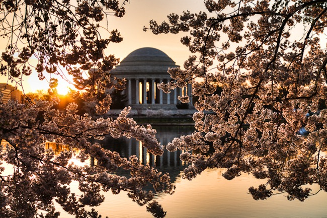 Tidal Basin Cherry Blossoms-2