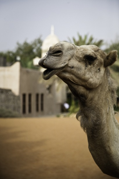 A Camel was parked at a Mosque