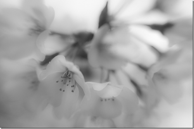 Cherry Blossoms - Lensbaby Macro Black and White