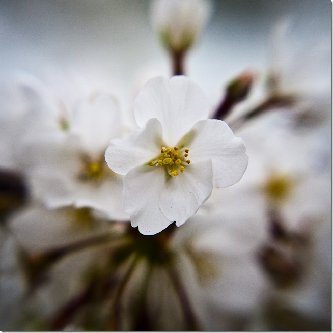 Cherry Blossoms - Lensbaby Macro Color
