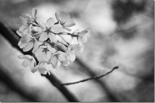 Cherry Blossoms Black And White 2