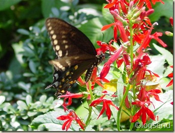 swallowtail on cardinal flowe