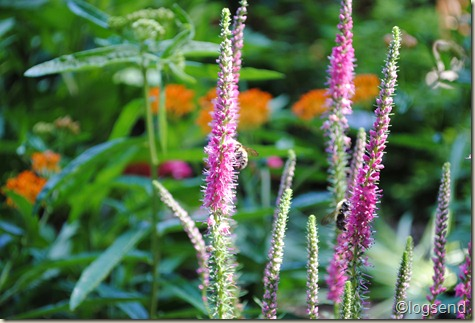 Veronica spicata 'Red Fox'
