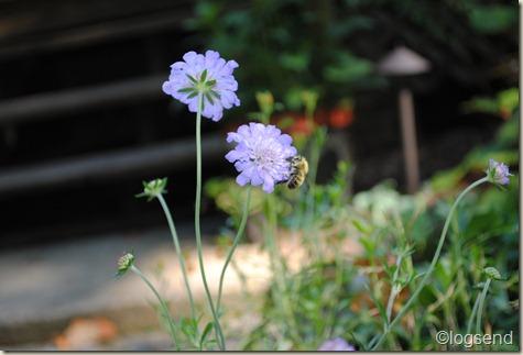 Scabiosa columbaria Pincushion flowers