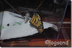 monarch wings filled