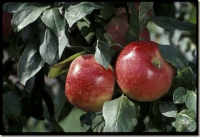 'Zestar!'  TM  apple developed by the University of Minnesota Agricultural Experiment Station. Released in 1998.  Ripens very early (second week of August in Minnesota, and stores well for an early variety.  Apple breeders Dave Bedford and Dr. Jim Luby.