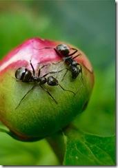ants-on-peony-bud
