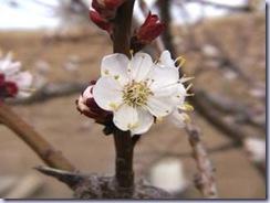 apricot02