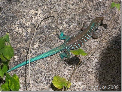 Carribean Lizard
