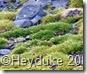 234 Penguin Island Antarctic Deschampsis