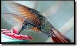 colibrijpg