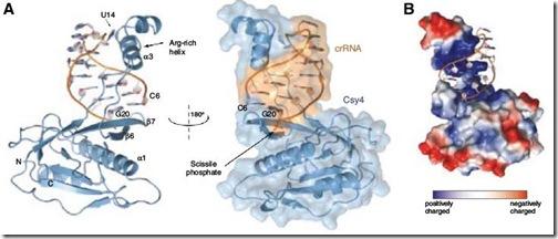 Cys4_RNA
