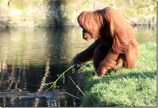 orangutan-water-flickr-harrymoon
