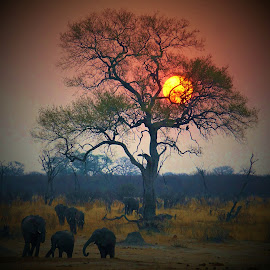 Sunset by Kurt Haas - Landscapes Sunsets & Sunrises ( animals, nature, national geographic, sunsets, elephant, wildlife, sun )