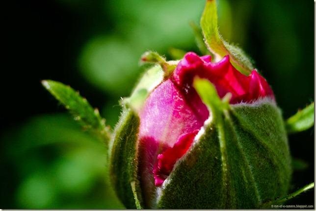 macro rose bud