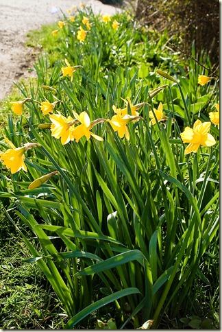 daffodils-1-5