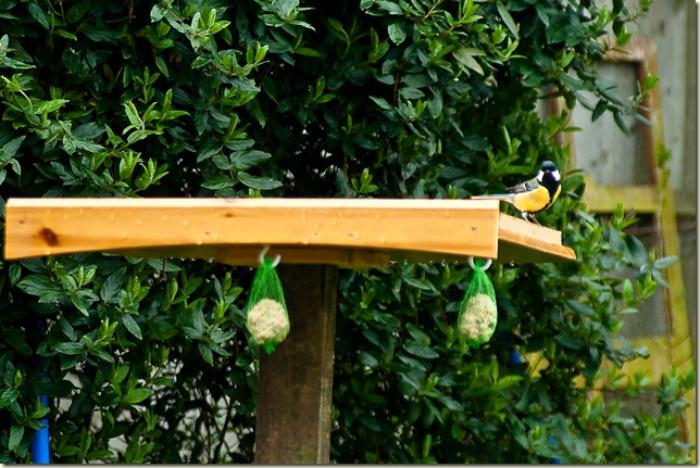 great-tit on bird table-1