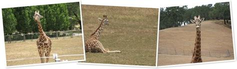 View Giraffes