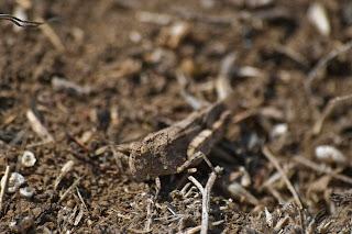 Camouflaged graygrasshopper