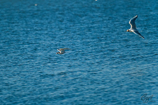 Black-headed Gull (Larus ridibundus) chasing a Common Tern (Sterna hirundo)