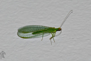 Green lacewing (Chrysopidae family) insect - less than 2cm in lengh