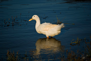 Domestic white duck on a lake