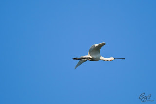 Eurasian Spoonbill or Common Spoonbill (Platalea leucorodia) in flight