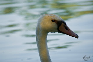 Mute Swan (Cygnus olor) head