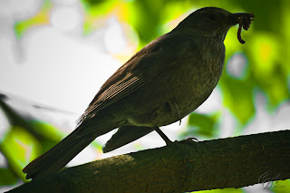 Female Common Blackbird (Turdus merula)