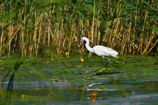Little Egret (Egretta garzetta) in the Delta Of Danube Natural Reservation.