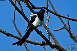 European/Common MAgpie (Pica pica) from the crow family