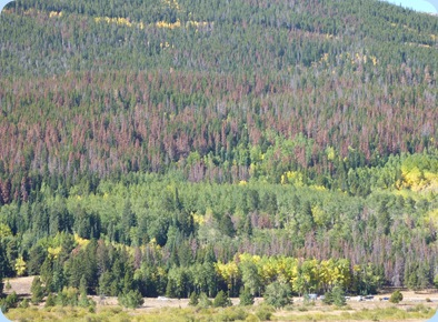 Rocky Mountain Trees Killed by Beetles