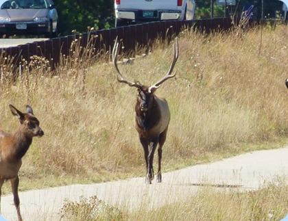 Estes Park Elk 6