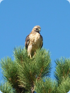 Estes Park Colorado Red Tail Hawk