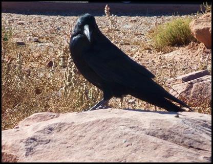 Canyonlands Nat'l Park Raven