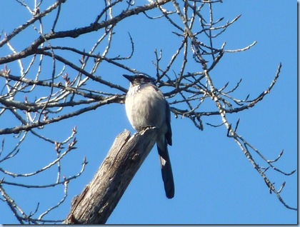 San Diego Dixon Lake Western Scrub Jay