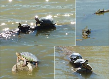 Bosque del Apache Wildlife Refuge Turtles