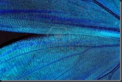 2147019-resumen-azul-brillante-textura-de-las-alas-de-mariposa--morpho