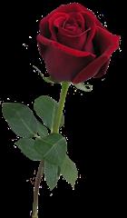 ROSAS_LADY_MEL (24)