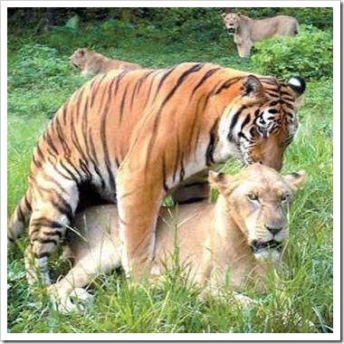 interspecies tiger-lion sex
