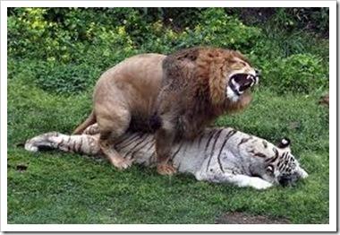 interspecies lion white tiger sex