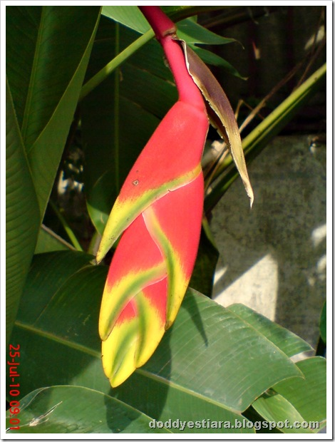heliconia flower bunga pisang-pisangan 6