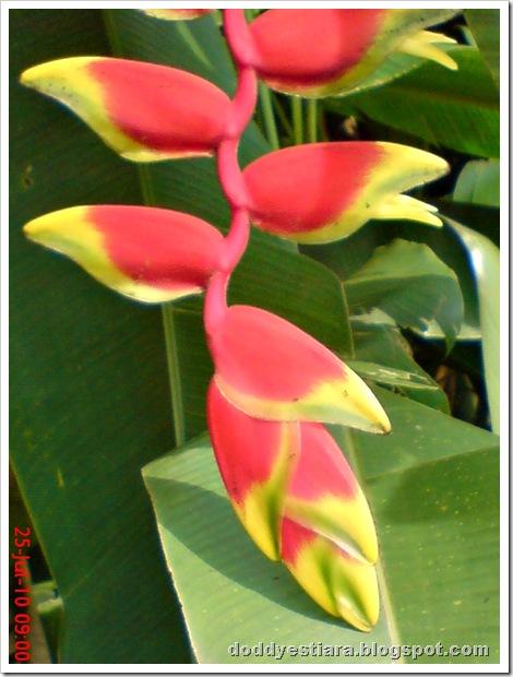 heliconia flower bunga pisang-pisangan 2