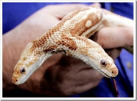 albino_rat_snake