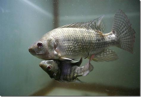 Siiamese_Fish_3