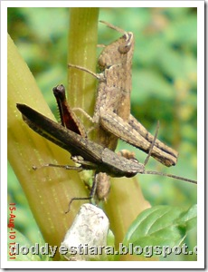 two brown grasshopper 08