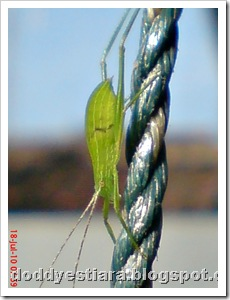 small green grasshopper 03